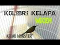 BURUNG KOLIBRI WICEH GACOR SUARA MIRIP YOUNG LEX