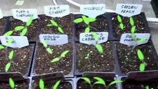 Starting and Growing Tomatoes or Other Vegetables Under a Grow Light - Step by Step.