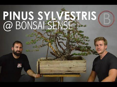 Scots Pine @ Bonsai Sense