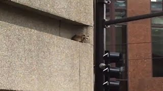 Etats-Unis: un raton laveur sauvé après une escalade périlleuse