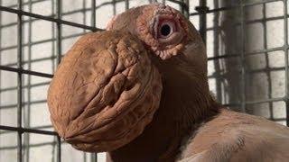 preview picture of video 'Pigeon Bec de Noix ( Pelican Carrier )'