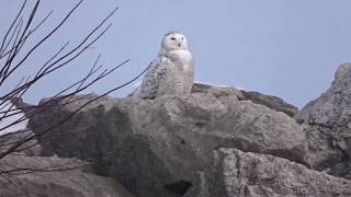 Snowy Owl at the Marina