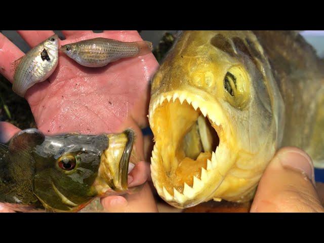 I CAUGHT These Rare Fish and a Piranha