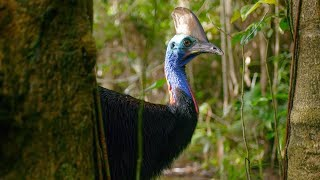 Filming The World's Deadliest Bird | Wild Stories | BBC Earth