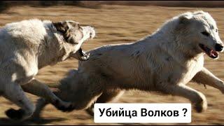 АЛАБАЙ ПРОТИВ ВОЛКА ! Убийца волков...