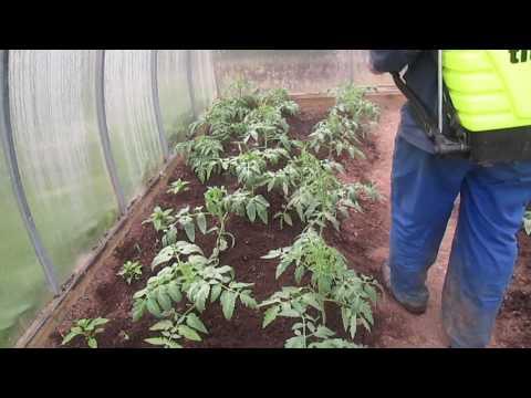 Обработка помидоров от фитофторы