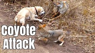 Coyote Attacks Cat    Dog Saves Cat