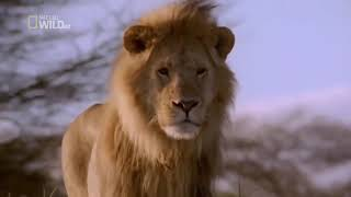 National Geographic HD Stunning Brutal Lion Documentary 2018   King of the Brothers!