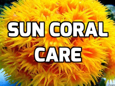 Sun Coral / Tubastrea Care Tips Mp3