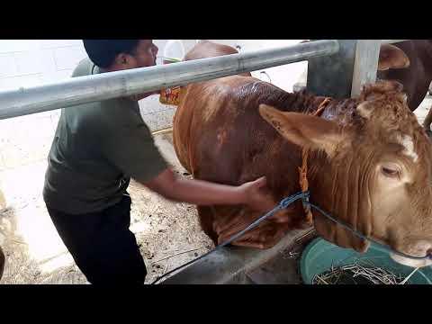 Gejala penyakit papillomatosis pada sapi, Virus papilloma menyebabkan penyakit