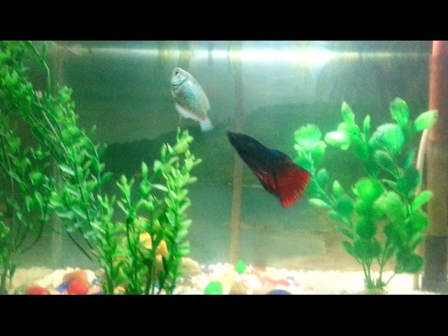 Betta fish attacking Dwarf Gourami
