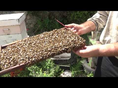пересаживаю отличный рой на 10 рамок из ловушки в улей