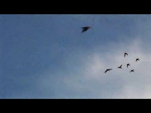 Fieldsports Britain – North Devon wildfowling
