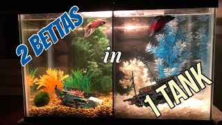 How We Put 2 Betta Fish in One Tank