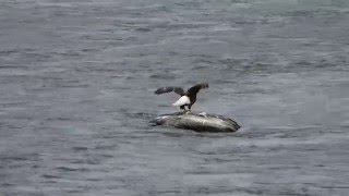 Eagle catching his dinner !!