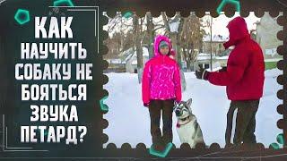 Как научить собаку не бояться звука петард(Петарды:преодоление страха)