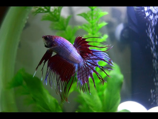20 Facts about Betta Fish