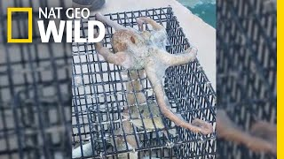 Sneaky Octopus Tries to Steal Dinner From a Fisherman | Nat Geo Wild