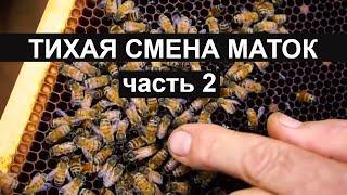 пчеловодство вывод матоk - Как вырастить лучшую матку ? Тихая замена