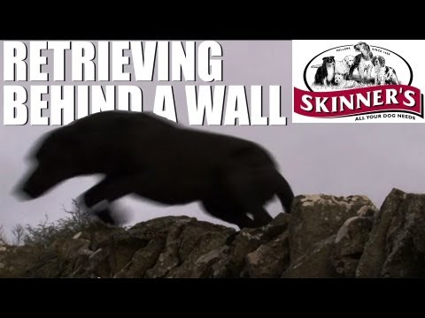 Gundog training tips – how to retrieve on the other side of a wall