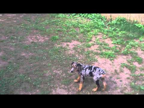 Leotie, Louisiana Catahoula Leopard Dog, 8 Wochen