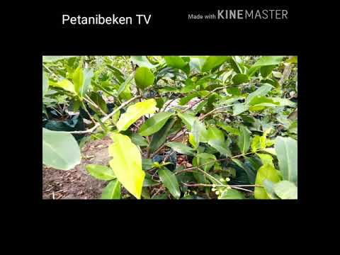 Rahasia Sukses di Usia Muda !!! Ayo ikuti menanam Jambu Madu Deli Hijau dalam Pot/ planterbag