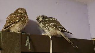Совы Ива и Юйня. Ястребиная сова и домовый сыч