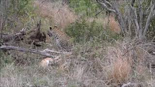 Leopard teaches cubs to hunt