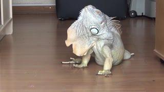 Iguana Birthday, 7 years