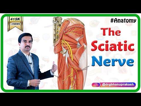 Sciatic nerve - Anatomy - Orthobullets