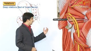 The Sciatic Nerve Anatomy - Origin, Course, Relations, Branches, Distribution and Clinical anatomy