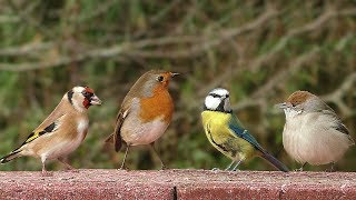 Birds Chirping and Tweeting in My Garden