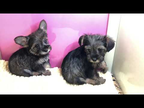 Snorkie puppies for sale Empire Puppies