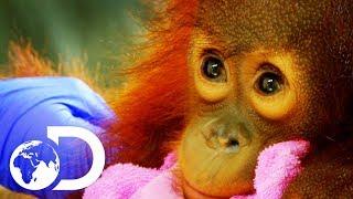 Peanut: The Adorable 15 Month Old Orangutan Baby | Meet The Orangutans