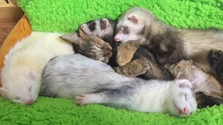 ТОП 5 лучшие видео про хорьков. Хорек и кошка.