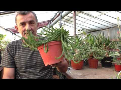 Горгона (Euphorbia caput-medusae.)