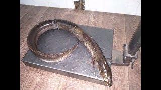 В Астраханской области поймали очень редкую рыбу внушительных размеров