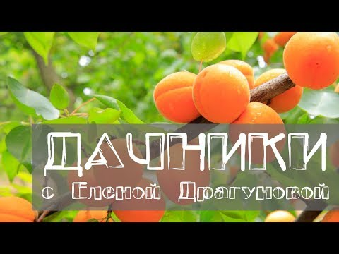 Дачники. Абрикос. Сорта абрикоса, которые хорошо растут в Сибири