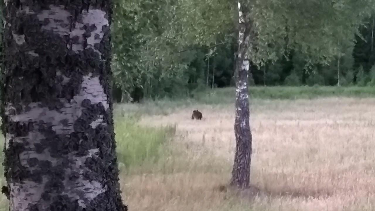 Самец бурого медведя на посевах овса