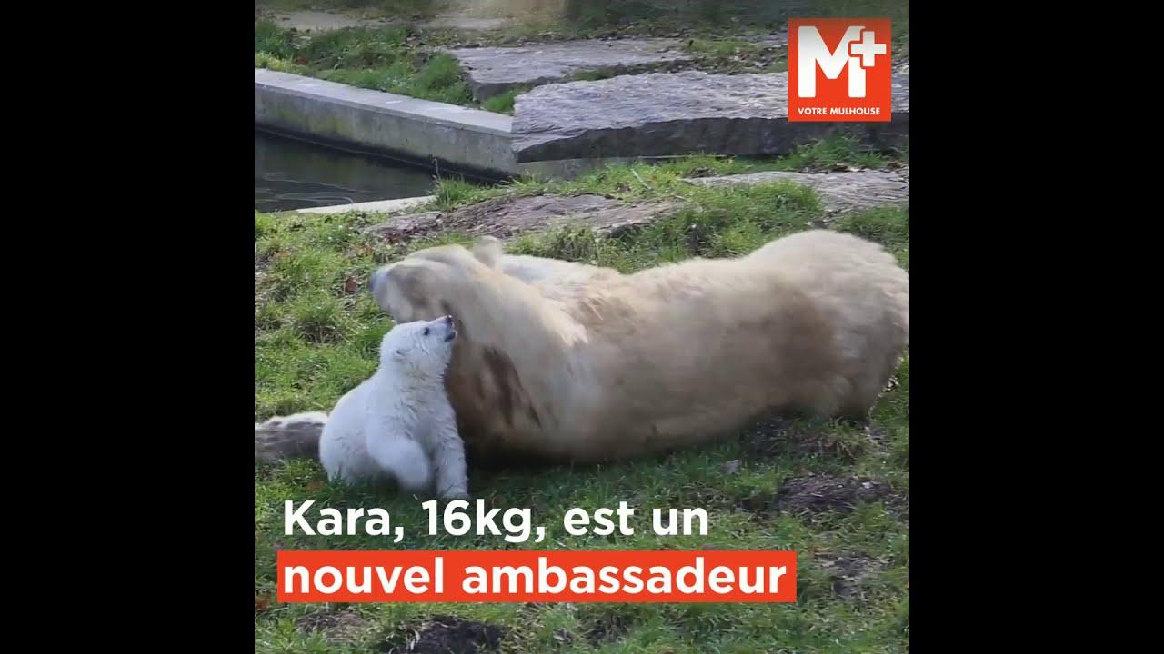 Les premiers pas de l'oursonne Kara au Zoo