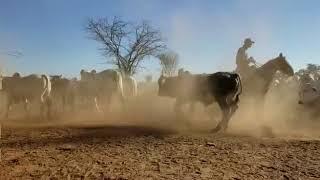 Bovino Corte Nelore - e-rural Imagens