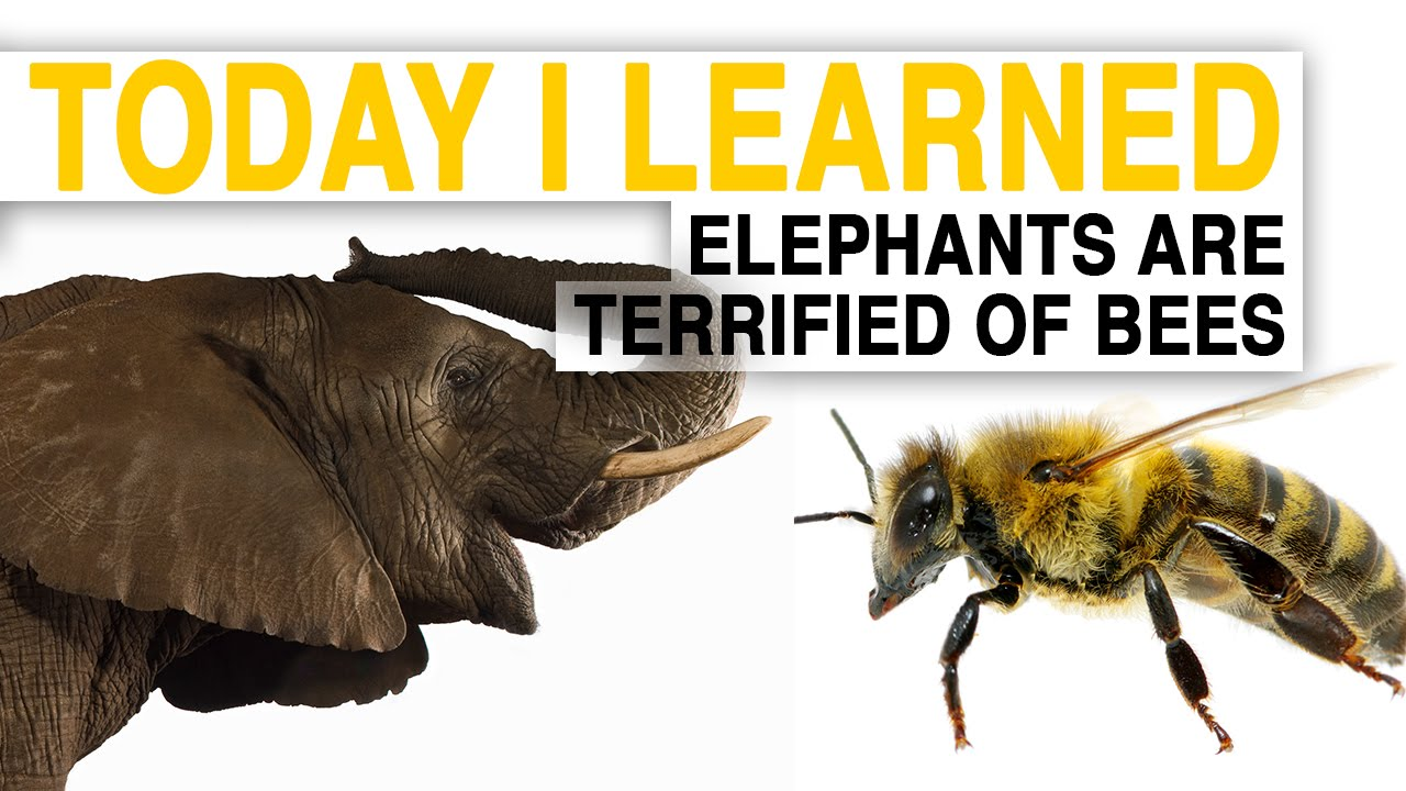 TIL: Bees Could Help Save Elephants—By Scaring Them | Today I Learned thumbnail