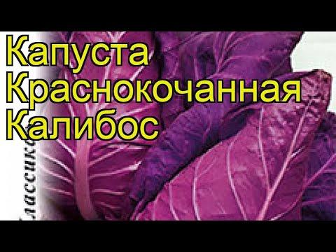 Капуста краснокочанная Калибос. Краткий обзор, описание характеристик brássica olerácea