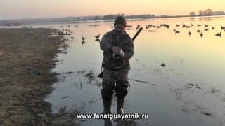 Смотреть онлайн Весенняя охота на гуся на болотах с манком