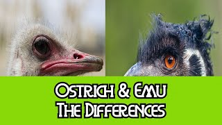 Ostrich & Emu - The Differences