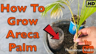 How to Grow Areca Palm Plant | Grow Areca Palm from Cutting