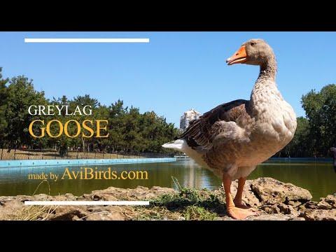 , title : 'Greylag Goose [Anser Anser]