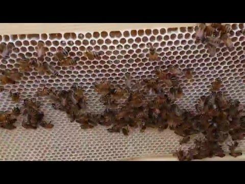 пчеловодство . осмотр роя зашедшего в феврале