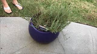 Growing Herbs Outdoors