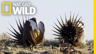 The Grouse's Unique Mating Ritual   America the Beautiful